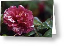 Camellia Twenty-one  Greeting Card