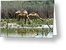 Camels At The Water Greeting Card