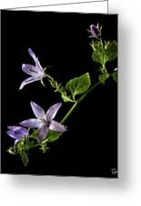 Campanula Greeting Card