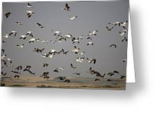 Canada Geese And White Geese Migration Greeting Card