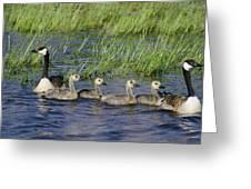 Canada Geese Branta Canadensis Greeting Card