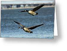 Canada Geese Coming In For A Landing Greeting Card