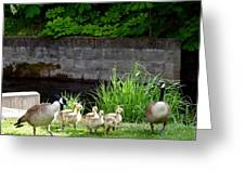 Canada Geese With Goslings Greeting Card