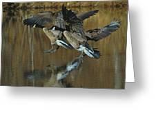 Canada Goose Trio Landing - C0843m Greeting Card by Paul Lyndon Phillips
