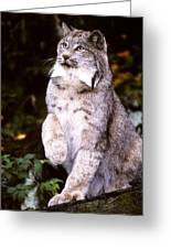 Canada Lynx With Paw Up   Greeting Card