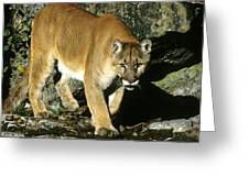 Canadian Cougar Greeting Card