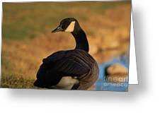 Canadian Goose Closeup By A Pond Greeting Card