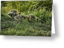 Canadian Goose Gosslings Greeting Card