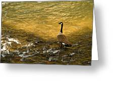 Canadian Goose In Golden Sunlight Greeting Card