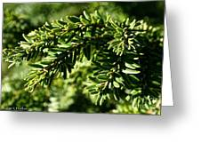 Canadian Hemlock Tips Greeting Card