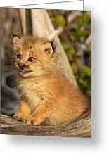 Canadian Lynx Kitten, Alaska Greeting Card