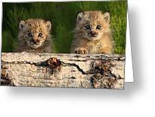 Canadian Lynx Kittens Looking Greeting Card