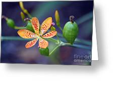 Candy Lily Greeting Card