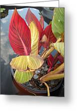 Canna Lily Fall Colors Greeting Card