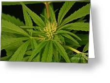 Cannabis Bud Greeting Card