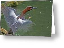 Canvasback In Action Greeting Card