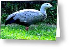 Cape Barren Goose Greeting Card