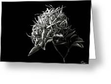 Cape Chestnut In Black And White Greeting Card