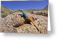 Cape Flat Lizard  South Africa Greeting Card by Piotr Naskrecki