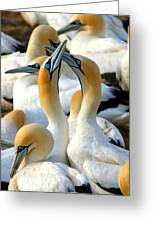 Cape Gannet Courtship Greeting Card by Bruce J Robinson