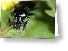 Carabid Beetle Rootworm Rredator Greeting Card