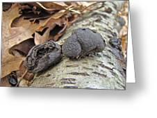 Carbon Balls Fungi - Daldinia Concentrica Greeting Card