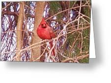 Cardinal  2 Greeting Card