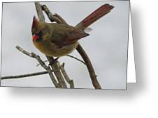 Cardinal Cold Winter Stare Greeting Card