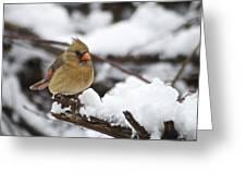 Cardinal Female 3679 Greeting Card