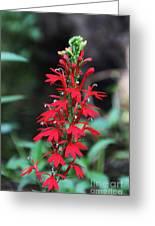 Cardinal Flower Greeting Card