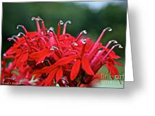 Cardinal Flower Close Up Greeting Card