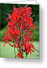 Cardinal Flower Full Bloom Greeting Card