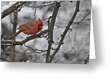 Cardinal Male 3666 Greeting Card