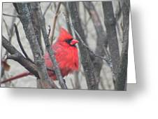 Cardinal With Fluffed Feathers Greeting Card