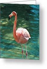 Caribbean Flamingo 2 Greeting Card