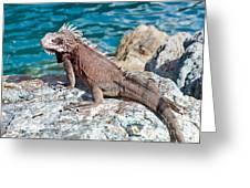 Caribbean Iguana Greeting Card