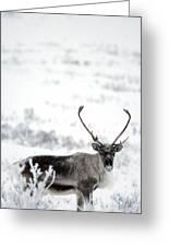 Caribou Rangifer Tarandus Dempster Greeting Card