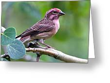 Cassin's Finch Greeting Card