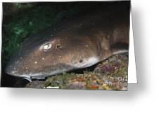 Cat Shark Sleeping, Pulau Tioman Greeting Card