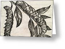Caterpillars, 17th Century Artwork Greeting Card