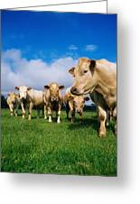 Cattle, Charolais Greeting Card