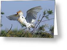 Cattle Egret In Breeding Plumage Greeting Card