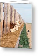 Cattle Feeding Greeting Card