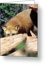 Cautious Red Fox Greeting Card