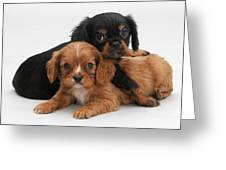 Cavalier King Charles Spaniel Puppies Greeting Card