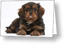 Cavapoo Pup Greeting Card