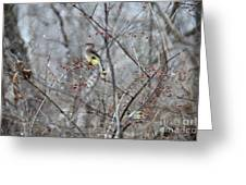 Cedar Wax Wing 3 Greeting Card