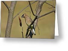 Cedar Waxwing - 2491 Greeting Card