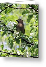 Cedar Waxwing Among Apple Blossoms Greeting Card