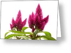 Celosia Argentea Greeting Card
